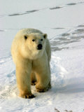 Polar Bear, Ursus Maritimus, Churchill, Manitoba Photographic Print by Yvette Cardozo