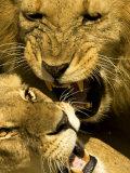 Lions, Lion Pair Mating, Masai Mara, Kenya Fotografie-Druck von Roy Toft