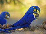 Hyacinth Macaws, Parrots Eating Brazil Nuts, Brazil Photographic Print by Roy Toft