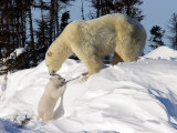 Two Month Old Cub and Mother Polar Bear Photographic Print by Yvette Cardozo