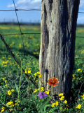 Early Spring Flowers, Fence Post, TX Photographic Print by Rebecca Marvil