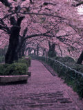 Garden Walkway, Trees in Blossom, Tokyo, Japan Photographic Print by Lonnie Duka