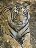 Bengal Tiger, Portrait of Male Tiger, Madhya Pradesh, India Photographic Print by Elliot Neep