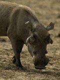 Warthog, Phacochoerus Aethiopicus Photographic Print by D. Robert Franz