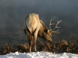 Bull Elk (Cervus Elaphus) Drinking, Yellowstone National Park Photographic Print by Yvette Cardozo