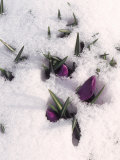 Purple Flowers in Snow Photographic Print by Ellen Kamp
