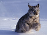 Canada Lynxlynx Canadensisrunning Through Snow Photographic Print by Daniel J. Cox