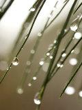 Gouttes de pluie sur les aiguilles d'une branche de pin Photographie par Ellen Kamp