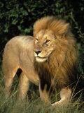 Lion, Masai Mara Game Resv, Kenya, Africa Photographic Print by Elizabeth DeLaney