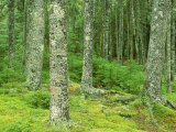 Moss Spruce Trees, Acadia National Park, Duck Brook, ME Photographie par Jim Schwabel
