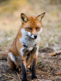 Red Fox, Sitting in Pine Needles, Lancashire, UK Photographic Print by Elliot Neep