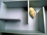 Rat in Maze Photographic Print by David M. Dennis