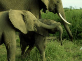 Elephants, Calves Playing, Kenya Photographic Print by Martyn Colbeck
