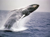 Humpback Whale Photographic Print by John Dominis