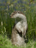 European Otter, Standing on Hind Legs, Sussex, UK Photographic Print by Elliot Neep
