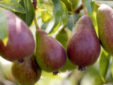Pear (Pyrus Glou Morceau), Close-up of Purple Fruits Growing on the Tree Photographic Print by Susie Mccaffrey
