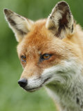 Red Fox, Portrait, Sussex, UK Photographic Print by Elliot Neep
