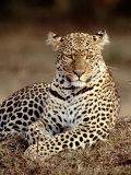 Leopard, East Africa Fotografisk tryk af Elizabeth DeLaney