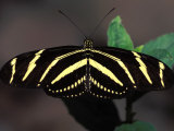 Zebra Longwing Butterfly, Photographic Print