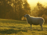 Sheep in Field on Cold Morning, Scotland Photographic Print by Mark Hamblin