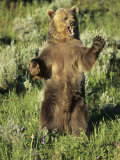 Grizzly Bear Bear Standing, USA Photographic Print by Daniel J. Cox