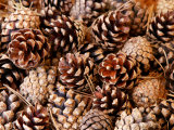 Pine Cone Background Fotoprint van Susie Mccaffrey