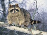 Montana, Raccoon Fotografisk trykk av Michele Burgess
