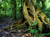 Close-up of Base of Tree with Roots in Rainforest, Costa Rica Photographic Print by Roy Toft
