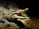 Cuban Crocodile, Bronx Zoo, NY Photographie par Rudi Von Briel