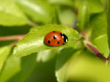 7-Spot Ladybird, Basking on Hawthorn Leaf, Middlesex, UK Photographic Print by Elliot Neep