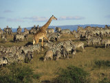 Kenya, Masia Giraffe and Herd of Zebra Photographic Print by Michele Burgess