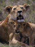 African Lion and Lion Cub, Panthera Leo Stampa fotografica di Franz, D. Robert