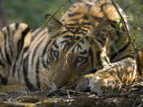 Bengal Tiger, Close-up Profile of Large Male Tiger Laying on Ground, Madhya Pradesh, India Photographic Print by Elliot Neep
