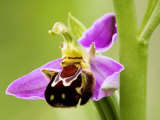Bee Orchid, Close up of Single Flower, UK Photographic Print by David Clapp
