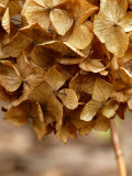 Hydrangea, Dried Flower Head, March Photographic Print by Susie Mccaffrey