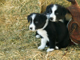 Border Collie Puppies Photographic Print by Inga Spence