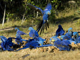 Hyacinth Macaws, Flock of Parrots Eating Brazil Nuts, Brazil Photographic Print by Roy Toft