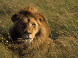 Lion in Long Grass, Masai Mara National Park, Kenya Photographic Print by Michele Burgess