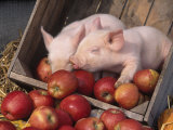 Mixed Breed Piglets in Apple Cart Photographic Print by Lynn M. Stone