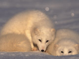 Arctic Foxes (Alopex Lagopus) Photographic Print by Lynn M. Stone