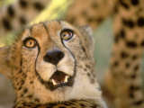 Cheetah, Cango Wildlife Ranch, Oudtshoorn, South Africa Photographic Print by Walter Bibikow