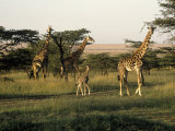 Giraffes, Masai Mara National Park, Kenya Photographic Print by Michele Burgess
