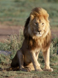 Male Lion, East Africa Fotografie-Druck von Elizabeth DeLaney