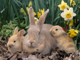 Palomino Rabbits Photographie par Lynn M. Stone