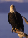 Bald Eagle, Alaska Photographic Print by Lynn M. Stone