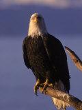 Bald Eagle, Alaska Photographic Print by Lynn M. Stone