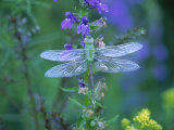 Dragonfly Fotoprint van Lynn M. Stone
