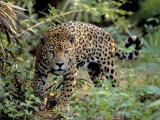 Jaguar in the Wild Photographie par Lynn M. Stone