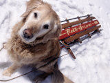 Dog and Old Sled, Breckenridge, CO Photographic Print by Bob Winsett