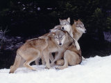 Gray Wolves Cuddling and Playing Photographic Print by Lynn M. Stone